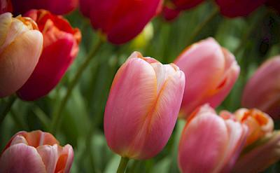 Tulips galore in Holland! Photo via Flickr:Luke Price