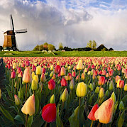 Dutch Highlights Tulip Tour Photo
