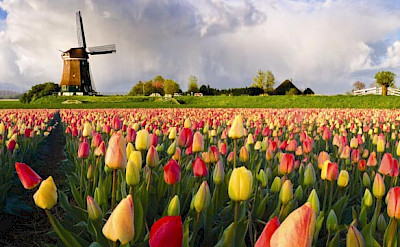 Tulips and windmills is all Holland. Photo courtesy of the Netherlands Board of Tourism