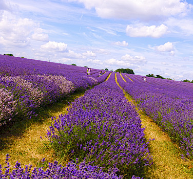 Bike along Lavender fields in the Provence! Photo via Flickr:nevalenx