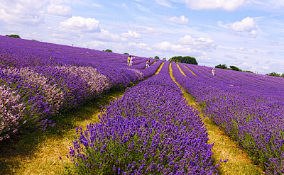 Lavender fields in the Provence! Flickr:nevalenx