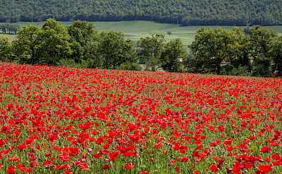Poppy fields in Umbria, Italy. Flickr:Andrew Moore