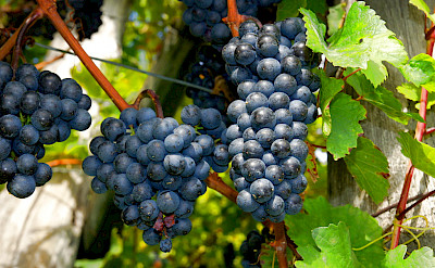 Red grapes ready for harvest in France. Flickr:Allie_Caulfield