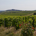 Sancerre vineyards throughout France. Flickr:Barberousse