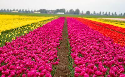 Tulips in Holland! Flickr:Willem van Valkenburg
