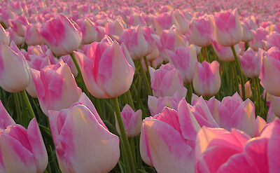 Pink tulips in northern Holland. Flickr:Lingo Ronner