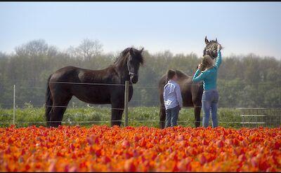 Tulips & horses in Holland! Flickr:Raymond Klaassen