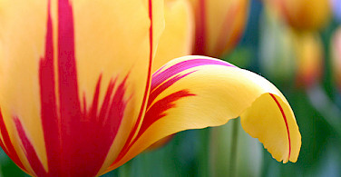 Tulip up close - photo by Flickr:CharlieBrown8989