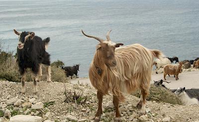 Mirtos goats on Cephalonia Island, Greece. Flickr:Martin Belam