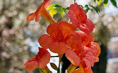 Flowers in Corfu, Ionian Islands, Greece. Flickr:Andres Papp