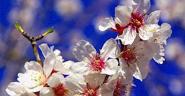 Almond trees are everywhere! Photo via Flickr:ANA