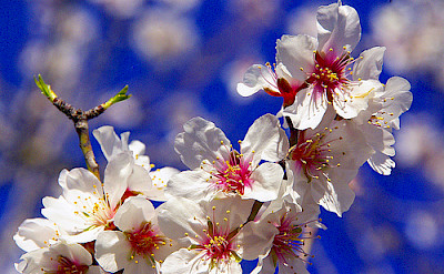 Almond trees are everywhere! Flickr:ANA