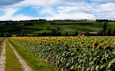 Sunflowers in Schaffhausen, Switzerland. Flickr:Niki Georgiev