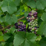 Vast vineyards and tasty grapes in France. Flickr:Will Bakker