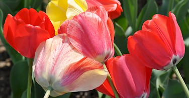 Tulips are harvested in May. Photo via Flickr:Ted