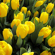 Yellow tulips for sale in the Netherlands. Flickr:Elena Giglia