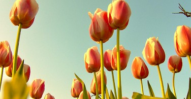 Tulips! Photo via Flickr:Katvanas Niay