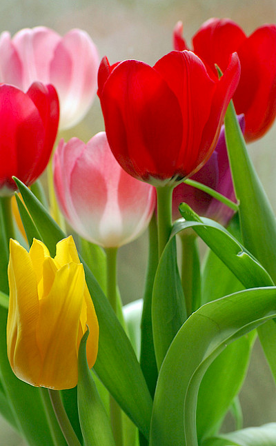 Tulips in Holland, of course! Flickr:Duncan Harris