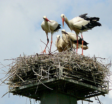 Family of white storks, the national bird of Poland! Photo by Manfred Heyde