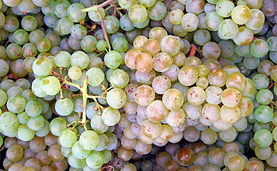 Pinot Blanc grapes grown in the Lombardy region of Italy. Photo via Wikimedia Commons:Themightyquill