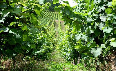 Mosel River Valley vineyards near Bernkastel-Kues, Germany. Flickr:Megan Cole
