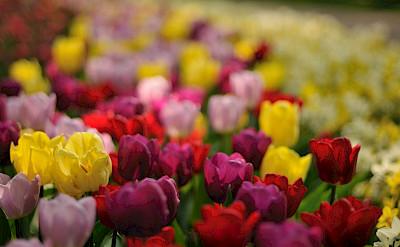 Tulip fields in Holland. Flickr:gnuckx