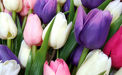 Bouquet of tulips, the famous flowers of Holland.