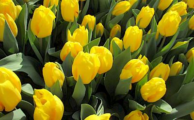 Yellow tulips in the Netherlands. Flickr:Elen Agiglia