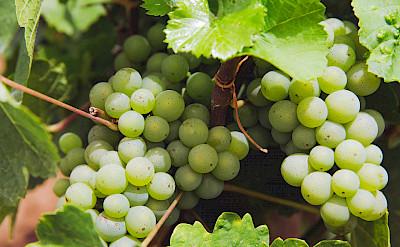 Wine-growing in Volkach, Germany. Flickr:Mark Usspiske