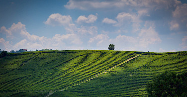 Vineyards galor in the hills of Barolo in Piedmont, Italy. Flickr:Adrian Scottow