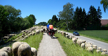 Passing sheep in Passau, Germany. Photo via Flickr:Brian Burger