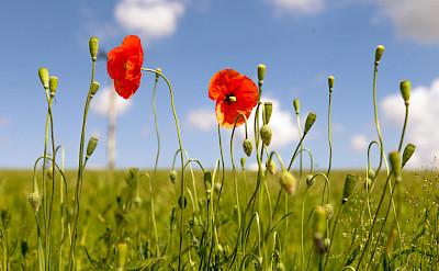 Wildflowers in Benešov, Czech Republic. Flickr:Daniel Chodusov