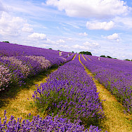 Lavender fields in the Provence. Flickr:nevalenx