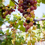 Fresh grapes in the Luberon, France. Flickr:Ben & Gab