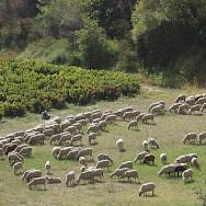 Sheep grazing in Provence, France. Flickr:Steve Jurvetson