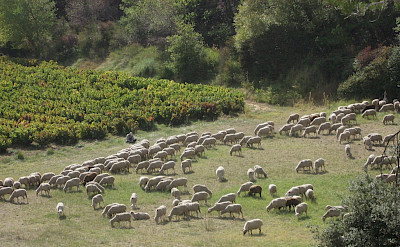 Sheep grazing in Provence, France. Flickr:Steve Jurvetson