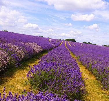 The endless lavender fields. Photo via Flickr:nevalenx