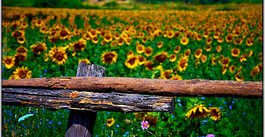 The many sunflower fields! Photo via Flickr:Moyan Brenn