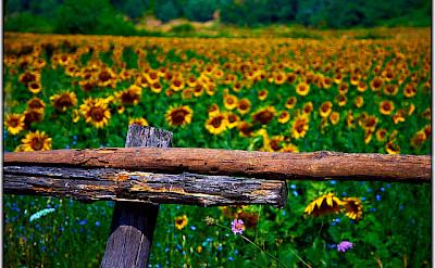 The many sunflower fields! Photo via Flickr:Moyan Brenn