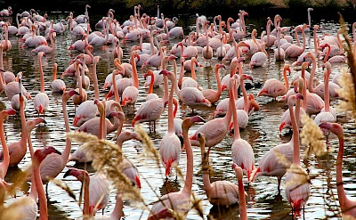 Fenicotteri Rosa at the Camargue in southern France. Flickr:Gina.Di