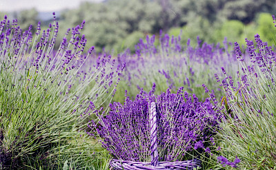 Lavender fields await in Provence, France.