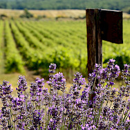Vineyards and lavender fields in Provence, France. Flickr:Ming-Yen Hsu