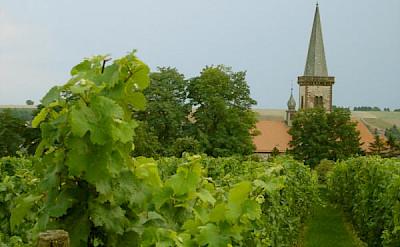 Plenty of Vineyards along the German Wine Route to be seen on your bike tour. Photo via Wikimedia Commons:Panchosuenderhauf