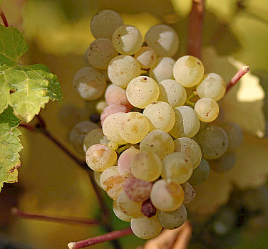 Ripe Riesling Grapes. Photo via Wikimedia Commons:Tom Maack