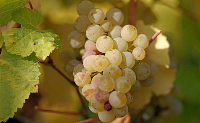 Ripe Riesling Grapes for some great local wines. CC:Tom Maack