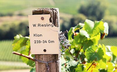 The area is famous for its Riesling wines! Flickr:mhagemann