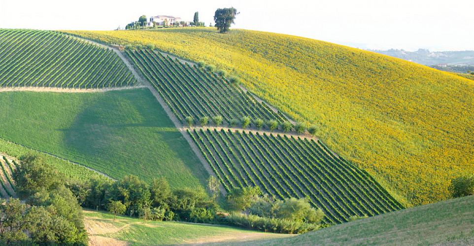 Plenty of vineyards and sunflower fields! Photo via Flickr:pizzodisevo