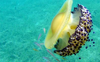 Sea life of the coast of Mljet Island, Dalmatia. Flickr:wrda