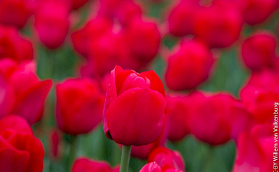Tulips in Holland, of course! Flickr:Willem van Valkenburg