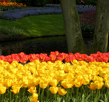 Tulips at the famous Keukenhof, Lisse, the Netherlands. Photo via Flickr:Michela Simoncini